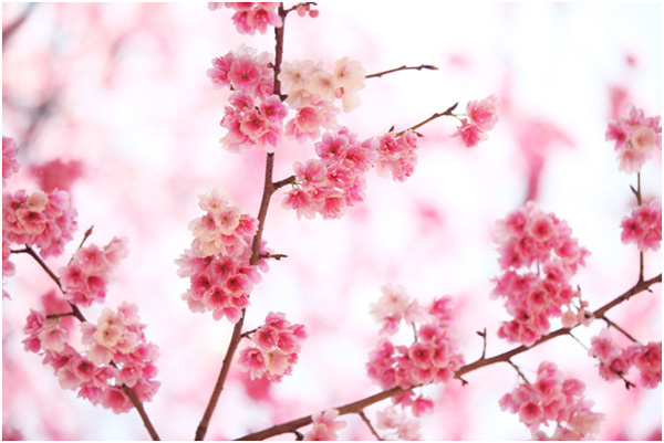 Top 15 most beautiful cherry blossom flowers pinit mightylinksfo