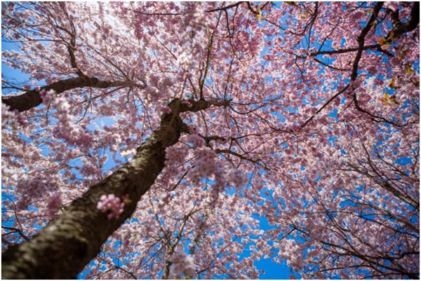 Top 15 most beautiful cherry blossom flowers kawazuzakura pinit mightylinksfo
