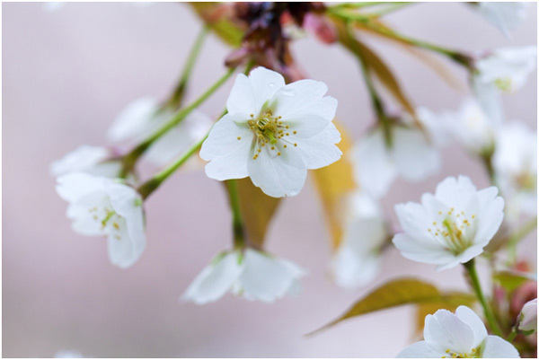 Top 15 most beautiful cherry blossom flowers yamazakura pinit mightylinksfo