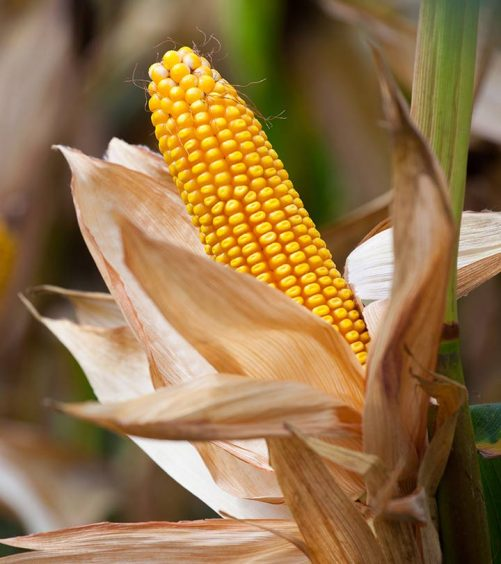 10 Surprising Side Effects Of Corn