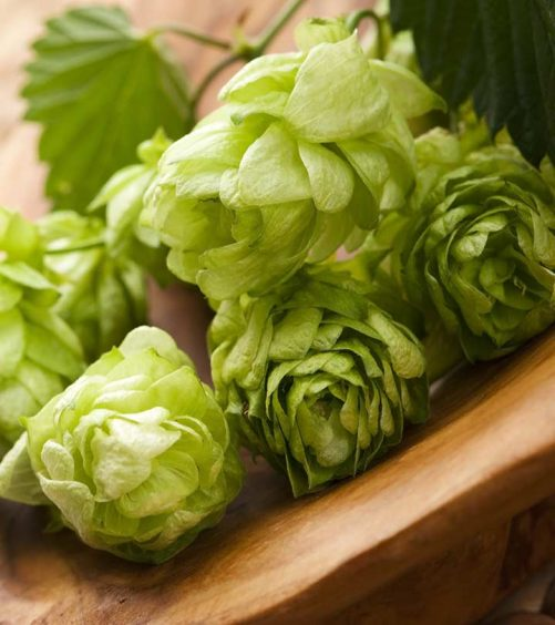Surprising-Benefits-Of-Hops-(Kanphuta)-For-Skin,-Hair-And-Health
