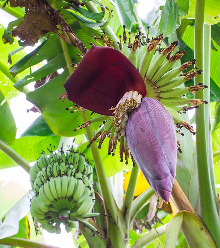Banana Flower Pictures
