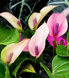 Top 15 Most Beautiful Anthurium Flowers
