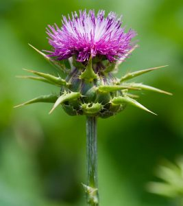 What Are The Side Effects Of Milk Thistle?