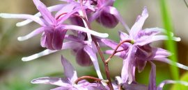 Horny Goat Weed – 10 Benefits, 4 Side Effects, And Dosage