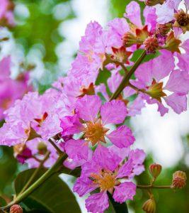 12 Amazing Benefits Of Queen's Flower For Your Health