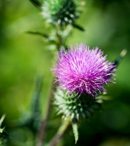 12 Benefits Of Milk Thistle + Its Synergy With Glutathione