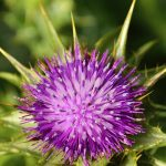 20 Amazing Benefits Of Milk Thistle For Skin, Hair And Health