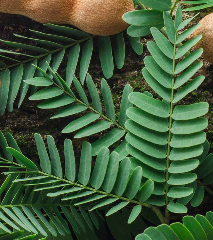 13 Amazing Health Benefits Of Tamarind Leaves