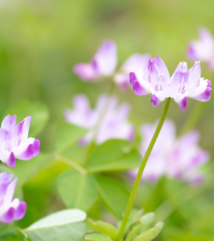 6 Serious Side Effects Of Astragalus