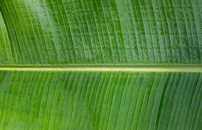 24. Plantain Leaf