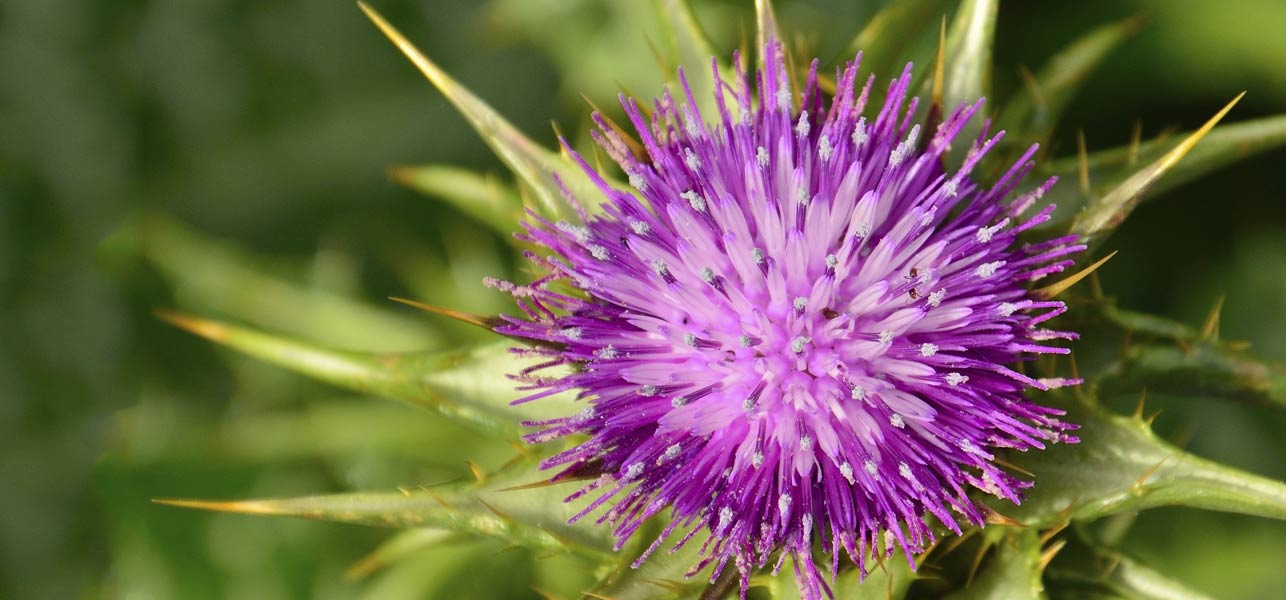 Hasil gambar untuk Milk Thistle - Benefits for Skin and Health
