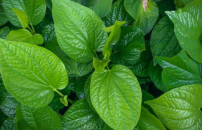 Betel Leaf What Is It How Does It Look