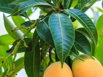 10-Amazing-Benefits-And-Uses-Of-Mango-Leaves-(Aam-Ke-Patte)_180370772