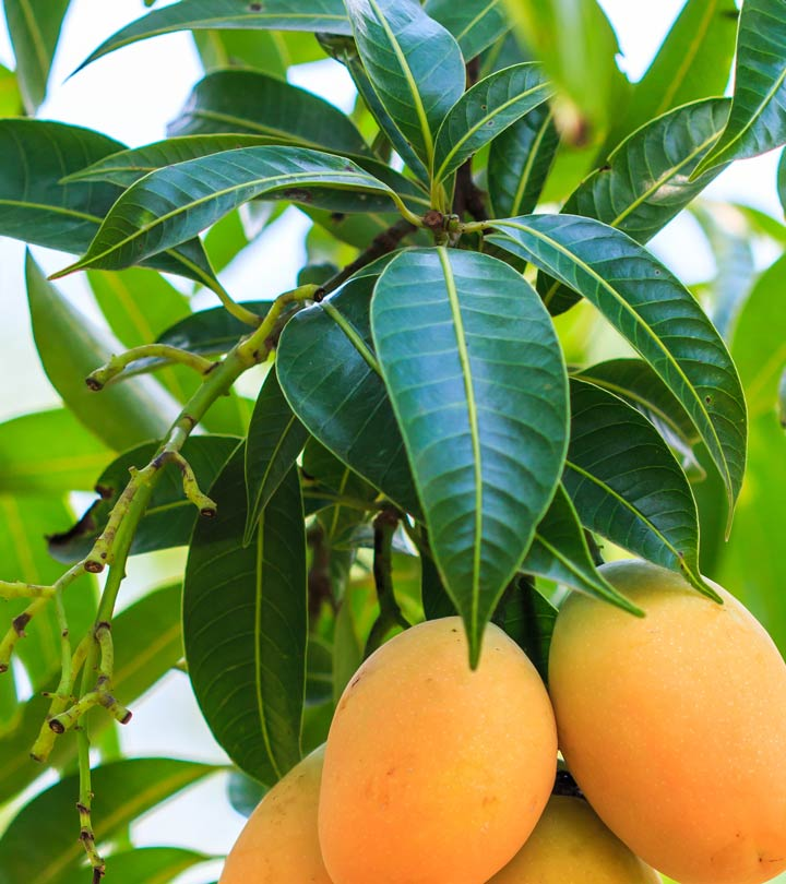 10 Amazing Benefits And Uses Of Mango Leaves That You May Have Not Known