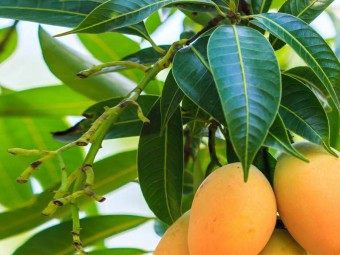 10-Amazing-Benefits-And-Uses-Of-Mango-Leaves