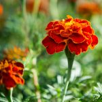 Top 25 Most Beautiful Marigold Flowers