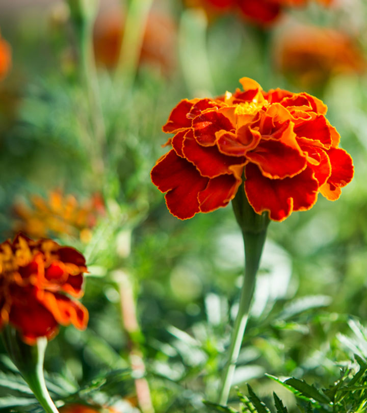 Top 25 most beautiful marigold flowers mightylinksfo