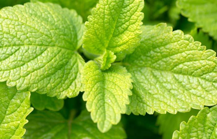 26.-Fresh-Lemon-Balm-Leaves