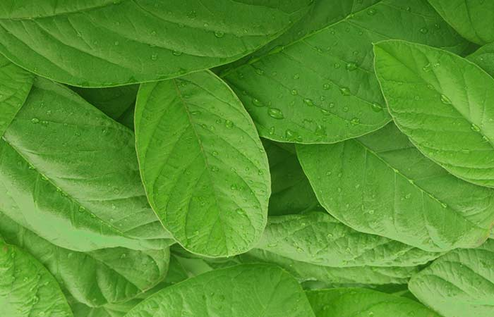 8. Guava Leaves