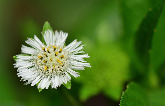 Bhringaraj (False Daisy)
