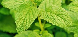 15-Amazing-Health-Benefits-And-Uses-Of-Lemon-Balm