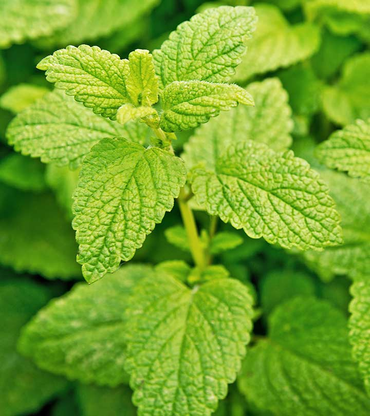 15 Amazing Health Benefits And Uses Of Lemon Balm