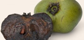 8 Amazing Health Benefits Of Black Sapote