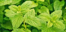 Benefits-And-Uses-Of-Lemon-Balm