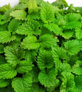 Lemon Balm: What Does Research Say About Its Benefits, Side Effects, And Dosage?