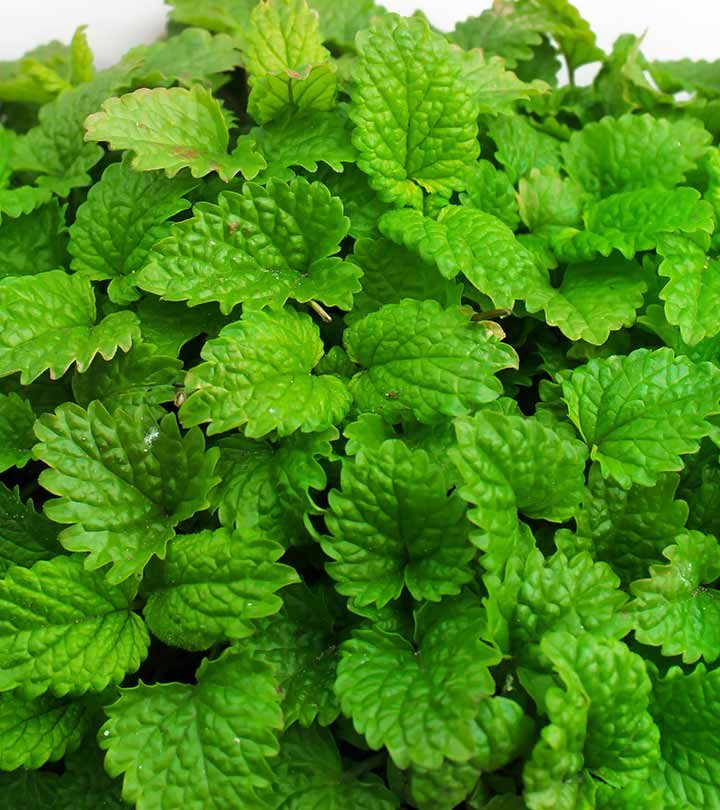 Lemon Balm What Does Research Say About Its Benefits, Side Effects, And Dosage