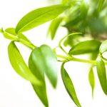 20 Amazing Health Benefits Of Lemon Myrtle