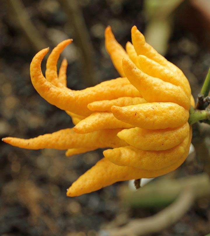 10-Amazing-Health-Benefits-Of-Hand-Of-Buddha-Fruit