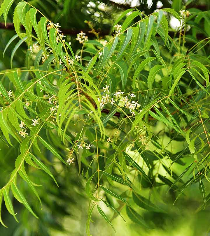 10 Side Effects Of Neem You Should Be Aware Of