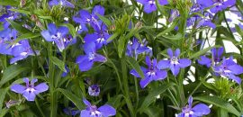 6 Medicinal Uses And 8 Side Effects Of Lobelia Herb