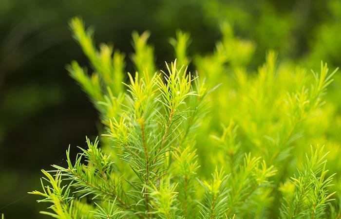 What-Is-Tea-Tree-Oil
