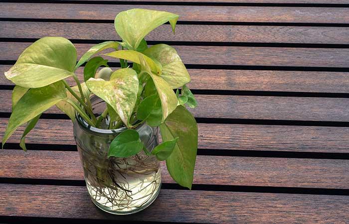 Money-Plant-(Epipremnum-aureum)