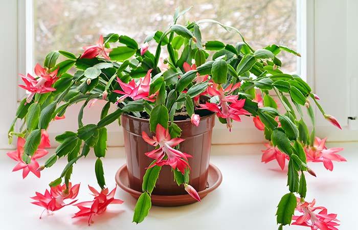 5. Christmas Cactus