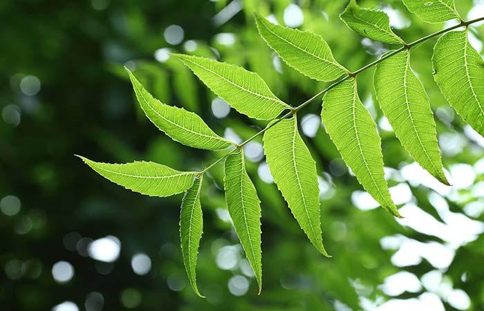 7. Neem Tree