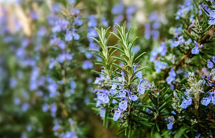 8. Rosemary