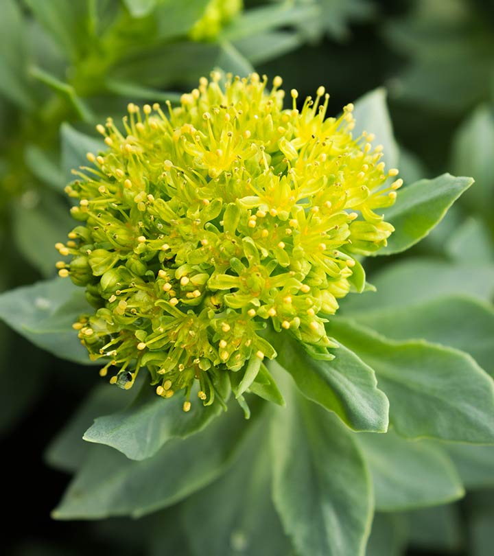 Rhodiola rosea: Benefits, Side Effects, And Dosage