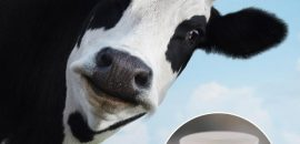 How Is Cow Urine Beneficial To You