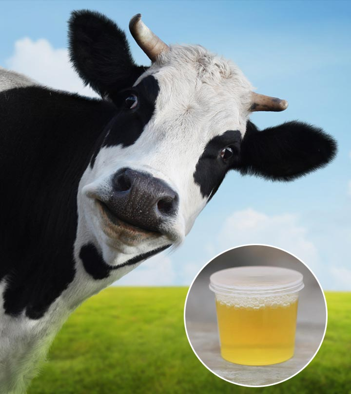 How Is Cow Urine Beneficial To You?