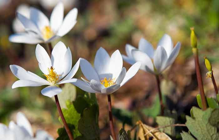 Bloodroot Herb to Vomit in Hindi