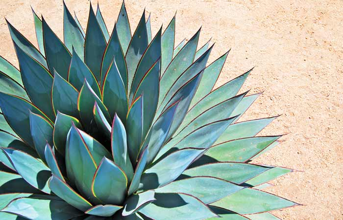Agave Nectar What Is It And How Does It Benefit Your Skin