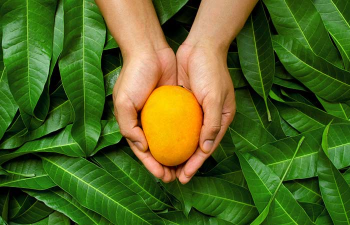 Selection and Storage of Mango in Hindi