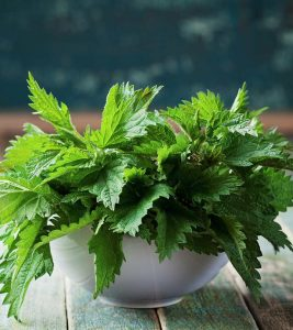 Nettle Leaf Benefits, Uses and Side Effects in Hindi