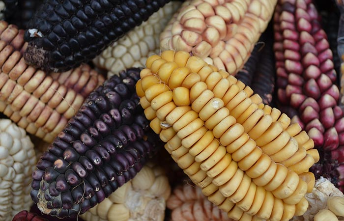 Types of corn in hindi