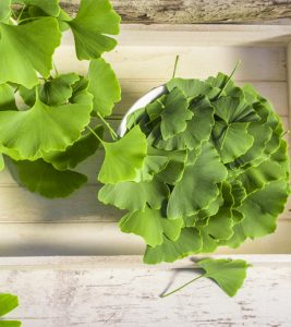All About Ginkgo Biloba in Hindi