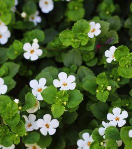 Brahmi Benefits, Uses and Side Effects in Hindi